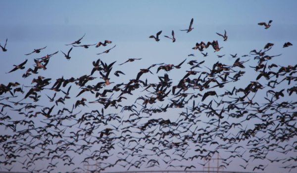 west texas hunting, sea to sky outfitters, waterfowl hunting, goose, crane, ducks
